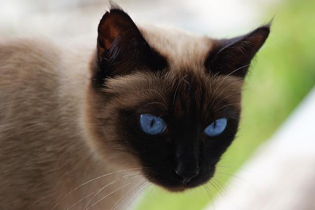 kočka s modrýma očima.jpg